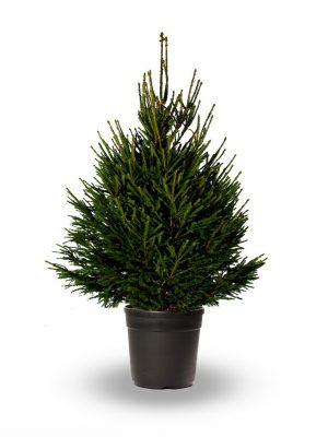 Picea Abies (spar)