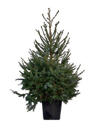 Picea Omorika (zilverden)